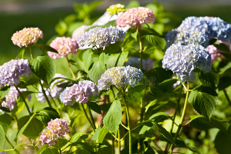 Download Hortensia stock photo. Image of colors, flora, bloom - 15059828