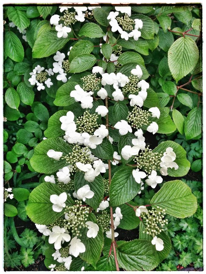 hortensia fotografie stock