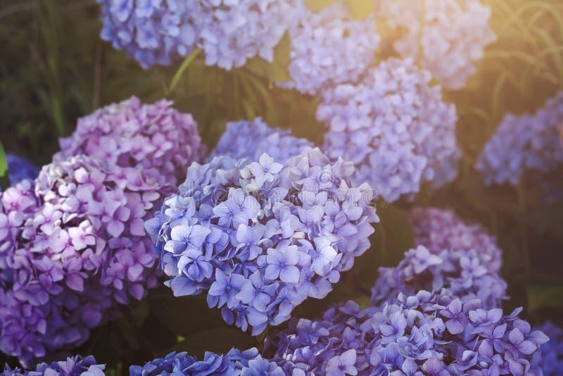 hortensia imagen de archivo
