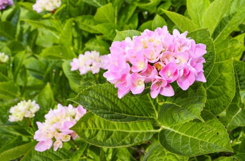 hortensia obrazy royalty free