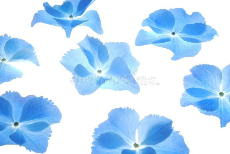 Hortensia azul foto de stock
