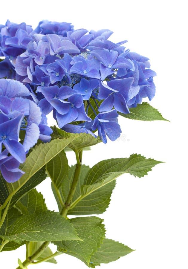 Hortensia azul aislada fotografía de archivo libre de regalías