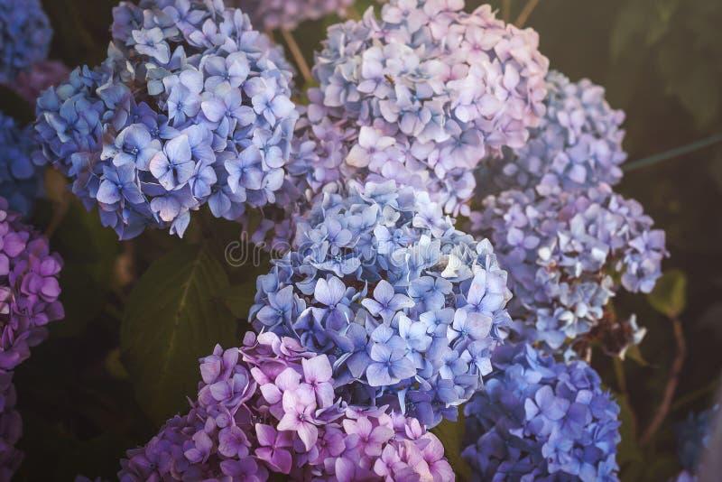 Hortensia azul, púrpura y rosada foto de archivo libre de regalías