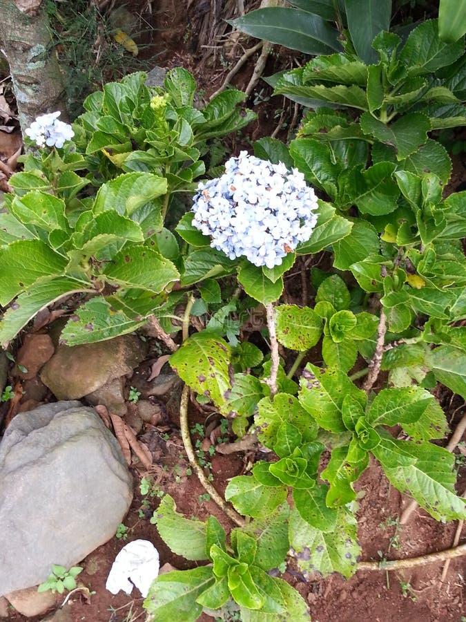 Hortensia in berg royalty-vrije stock foto's