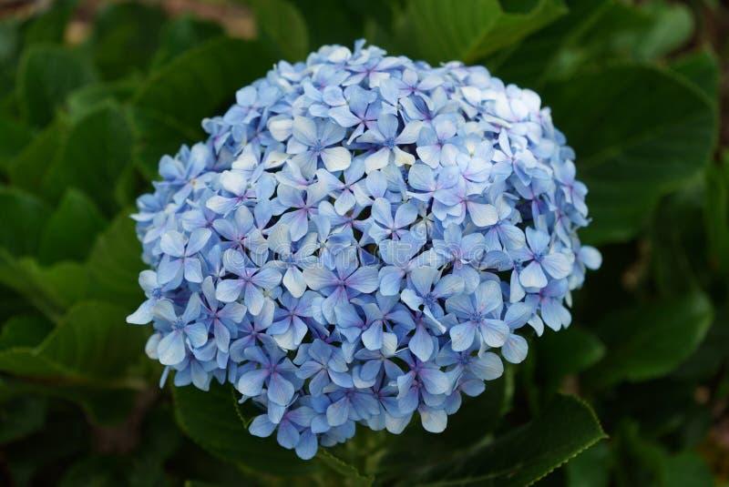 Hortensia bleu de fleur Fin vers le haut photographie stock libre de droits