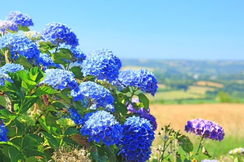 Download Hortensia de la hortensia imagen de archivo. Imagen de flor - 42439673