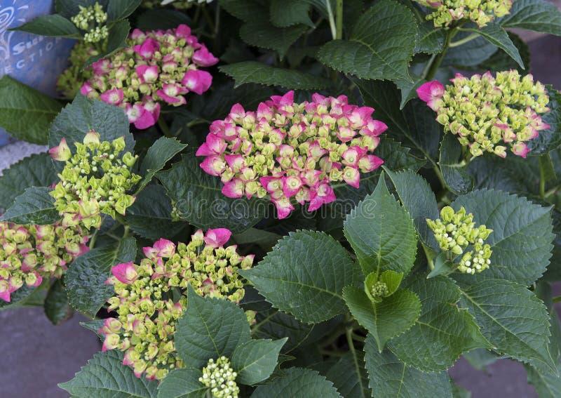 Hortensia de pistache photos stock