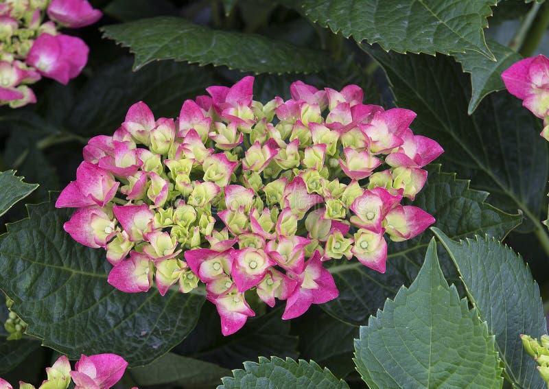 Hortensia de pistache photo stock