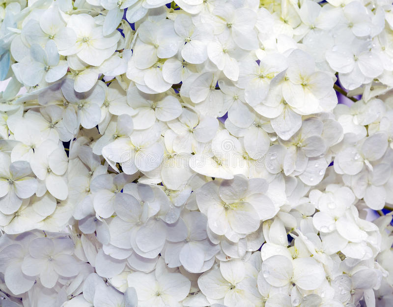 Hortensia decorativo de las flores fotos de archivo