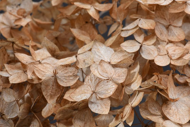 Hortensia dried flowers royalty free stock photography