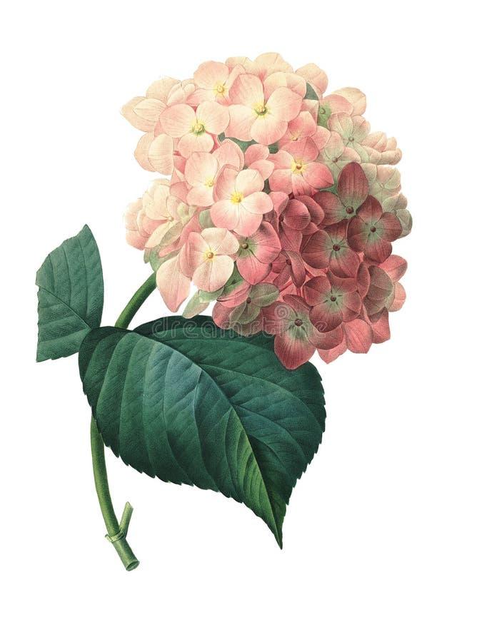 Hortensia   Ejemplos de la flor de Redoute stock de ilustración