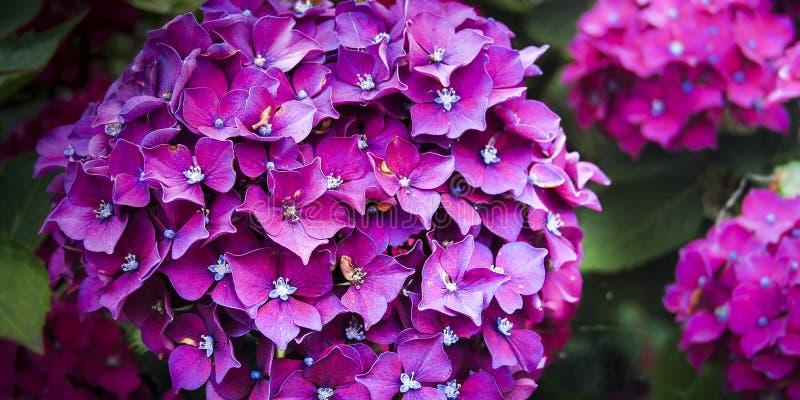 Hortensia fiołkowy kwitnienie w wiośnie zdjęcie stock
