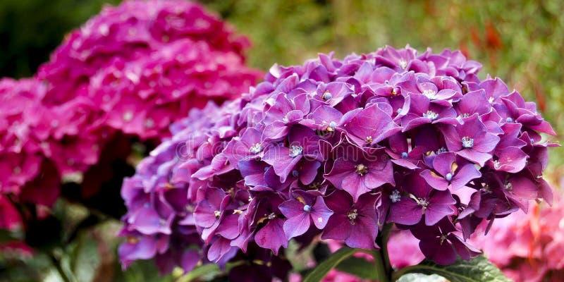 Hortensia fiołkowy kwitnienie w wiosna ogródzie zdjęcia royalty free