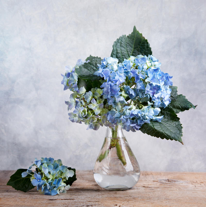 Hortensia Flowers. Still-Life with blue Hortensia Flowers in glass vase royalty free stock photos
