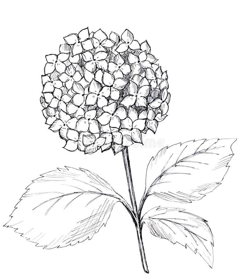 Hortensia gráfica exhausta de la mano Ejemplo blanco y negro de la trama ilustración del vector