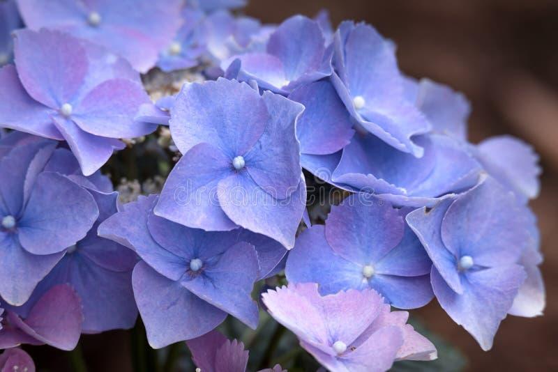 Hortensia hortensi kwiat zdjęcie stock