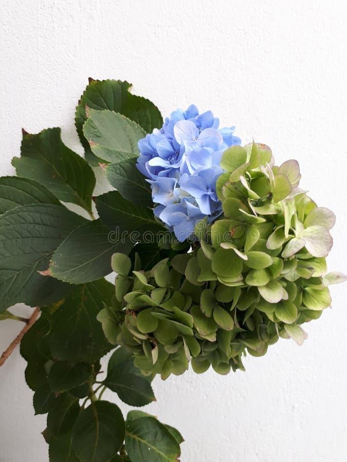 Hortensia & x28; hydrangea& x29; fotos de stock royalty free