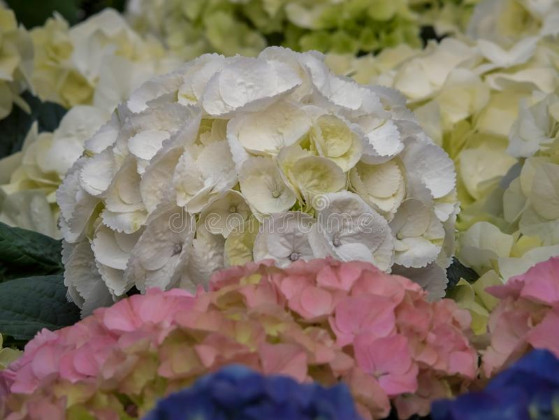Hortensia, Hydrangea macrophylla. Flowers for gardens, parks, landscape design, delighted attractive environment. Close up stock photo