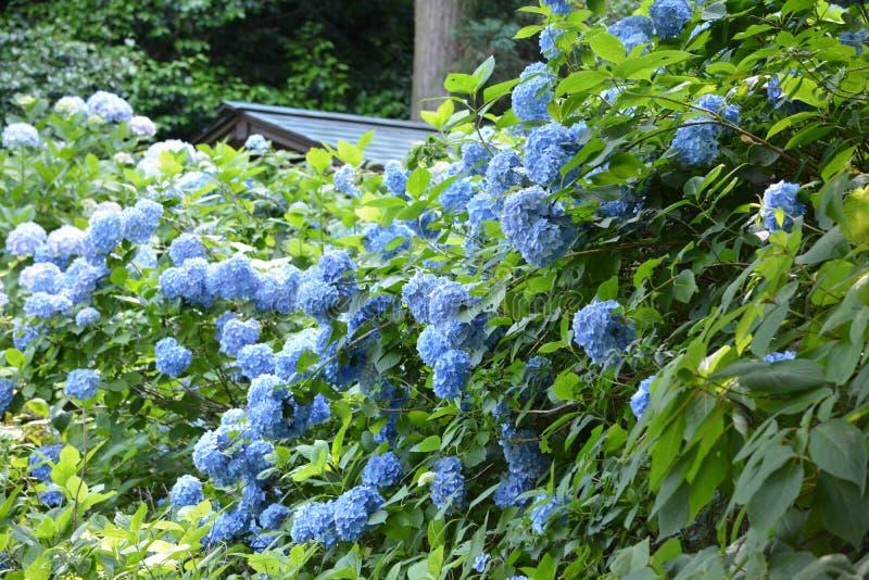 Hortensia Japón fotos de archivo libres de regalías