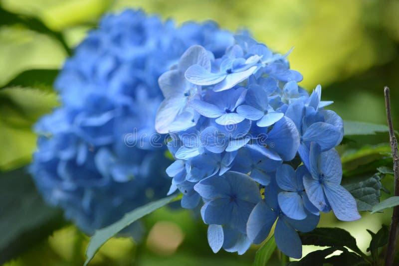 Hortensia Japón fotos de archivo