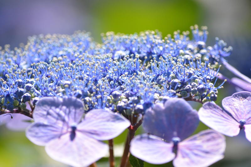 Hortensia Japón fotografía de archivo
