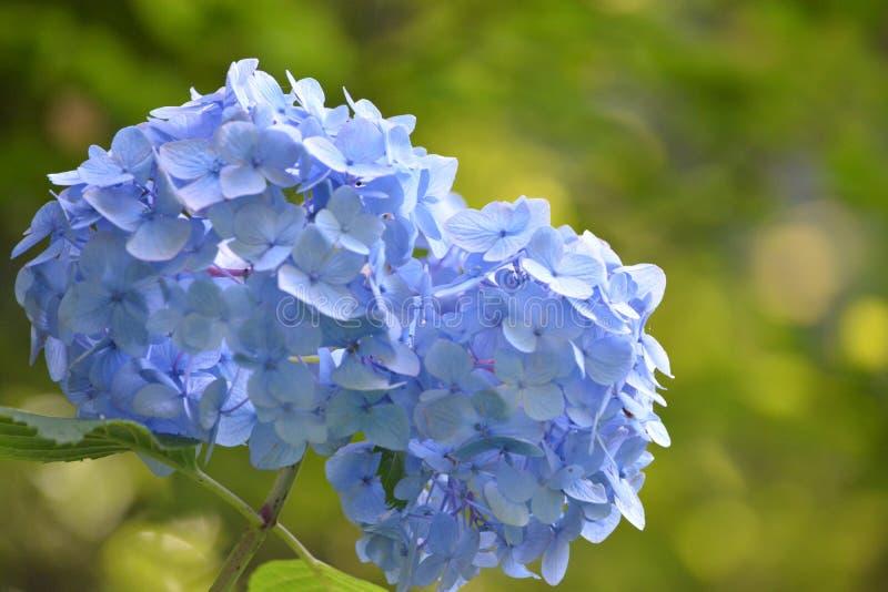 Hortensia Japón imagen de archivo