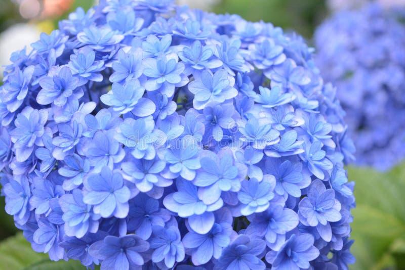 Hortensia Japón fotografía de archivo libre de regalías
