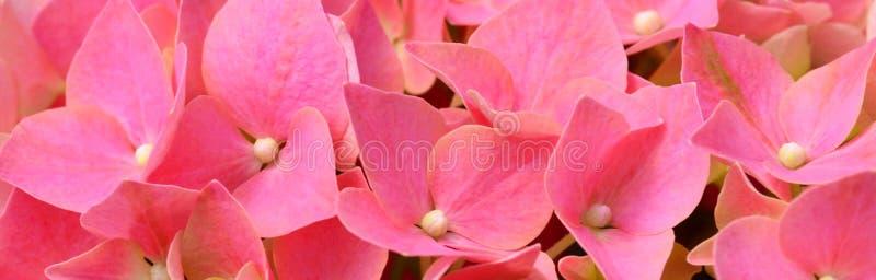 Hortensia kwiat zdjęcie stock