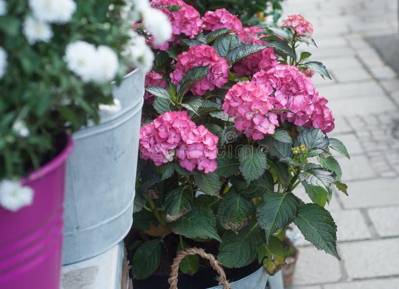 Hortensia kwitnie przy kwiaciarnią fotografia royalty free