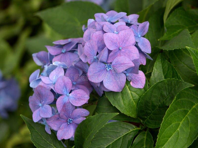 hortensia púrpura en hojas fotos de archivo libres de regalías