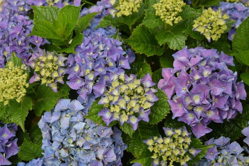 Hortensia pourpre en pleine floraison image stock