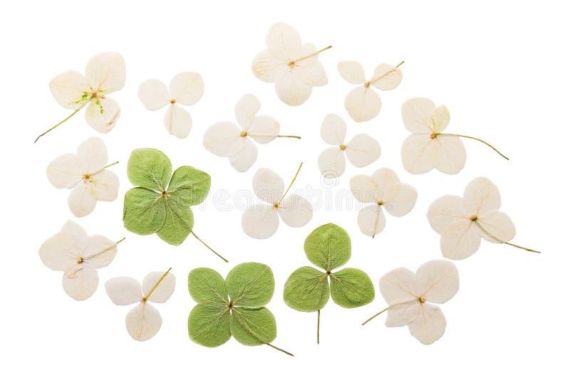Hortensia pressé et sec de fleur D'isolement photographie stock libre de droits
