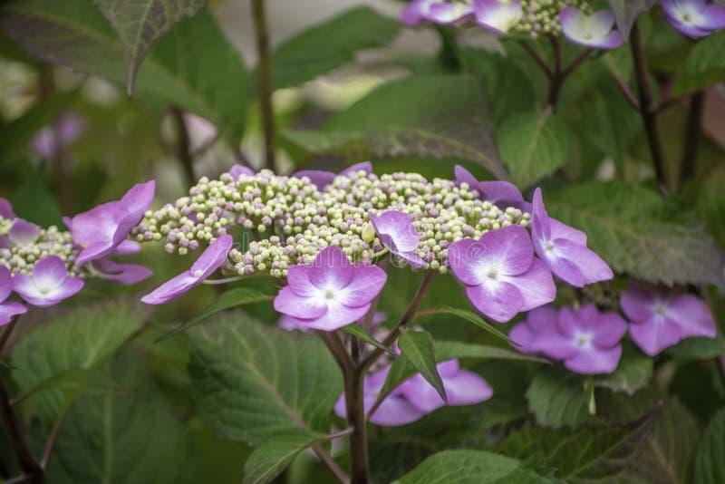 Hortensia rosa, ortensia rosa con le foglie verdi fotografia stock