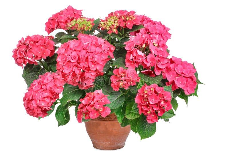 Hortensia rosada, fotos de archivo libres de regalías