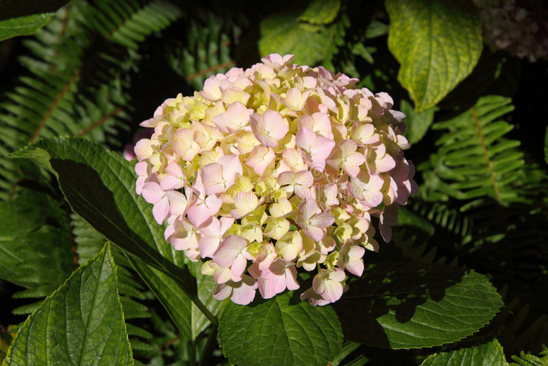 Hortensia rosada, Portugal fotografía de archivo libre de regalías
