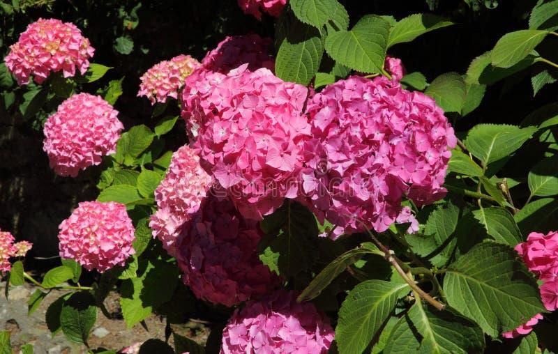 Hortensia rosada, Portugal fotos de archivo