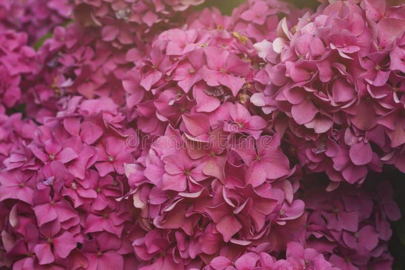 Hortensia rosada u hortensia imagen de archivo