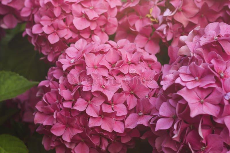 Hortensia rose photographie stock