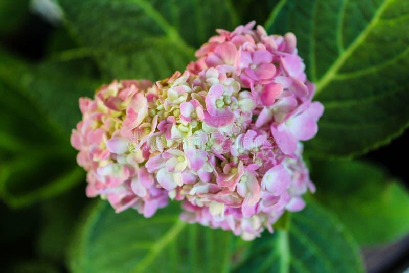 Hortensia rose de coeur photographie stock