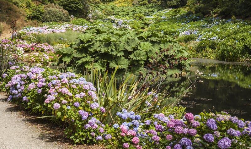 Hortensias, corriente y trayectoria en los jardines de Trebah imágenes de archivo libres de regalías