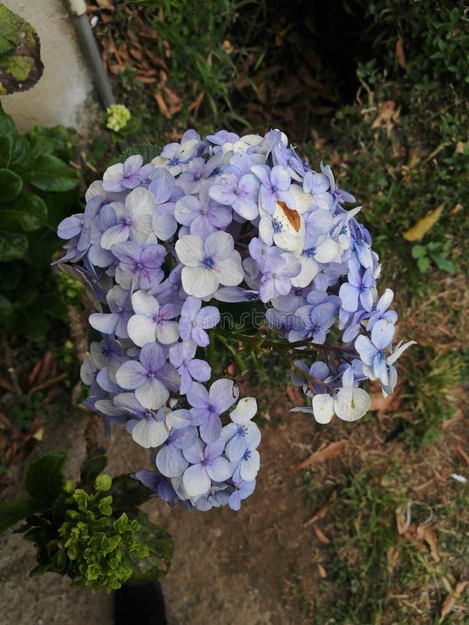 hortensias de hortensias photo stock