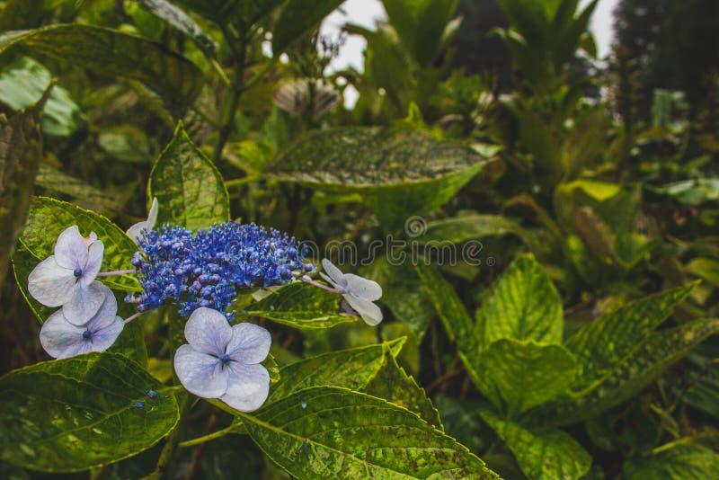 Hortensias grandissants du côté de la route sur le sao Miguel Island, Açores, Portugal photos stock