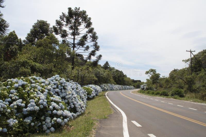 Hortensias nella strada a Gramado fotografia stock libera da diritti