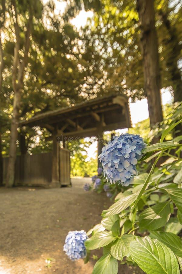 Hortensias púrpuras y puerta interior del ` s del jardín de Rikugien hecha del wo imagenes de archivo