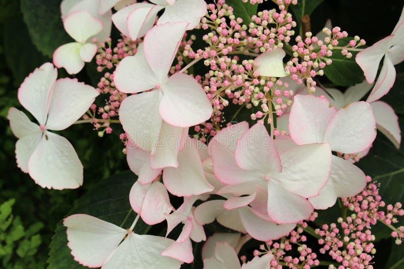 Hortensie Aspera Nahaufnahme von blühenden weißen Blumen und von Knospen stockfotos