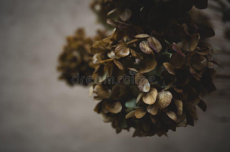 Hortensie-Blumen-Köpfe stockfotografie
