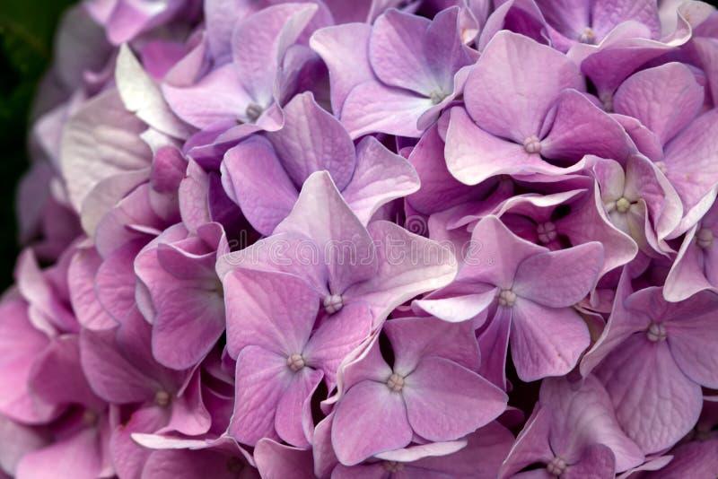 Hortensie macrophylla Rosa-Blumenbeschaffenheit lizenzfreies stockfoto