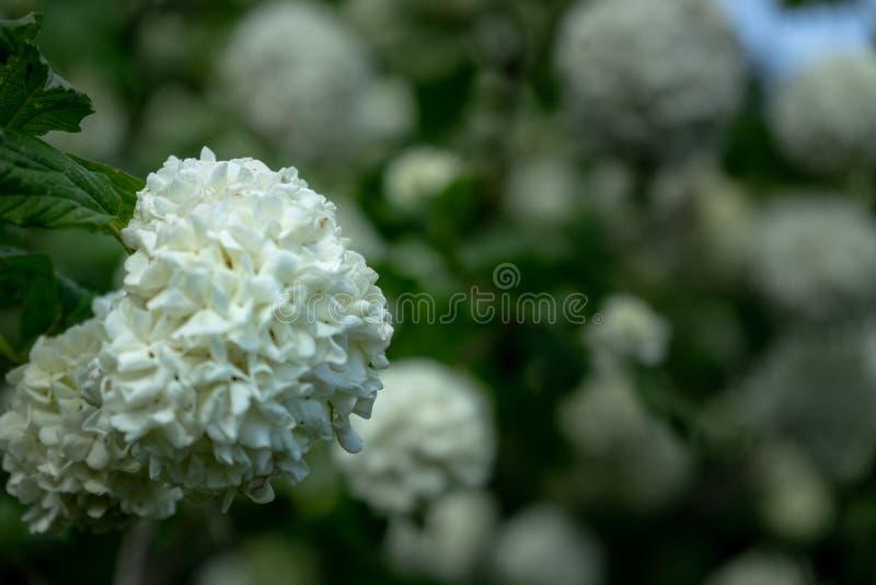 Fiori A Palla Nome.Ortensia Della Palla Di Neve Immagine Stock Immagine Di Arbusto