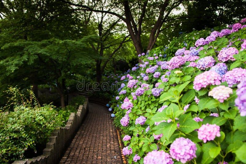 Hortensie an Tamagawadai-Park, Ota, Tokyo, Japan stockbild