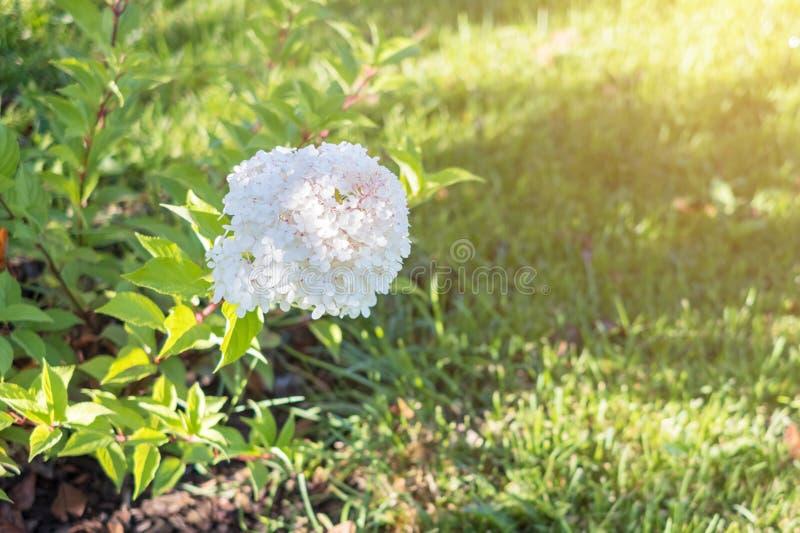 Hortensieblume, eine Niederlassung, Vielzahl panicle Hortensie gegen einen grünen Rasen lizenzfreie stockbilder